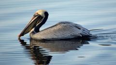 Pelican Pictures 38093