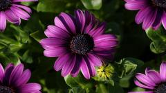 Purple Gerberas 23937