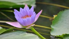 Purple Lotus 22566