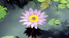 Purple Lotus 22570