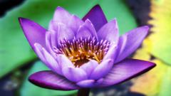 Purple Lotus HD 22571