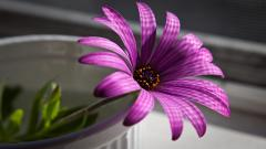 Purple Lotus Wallpaper 22562