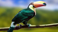 Toucan Bird 19908