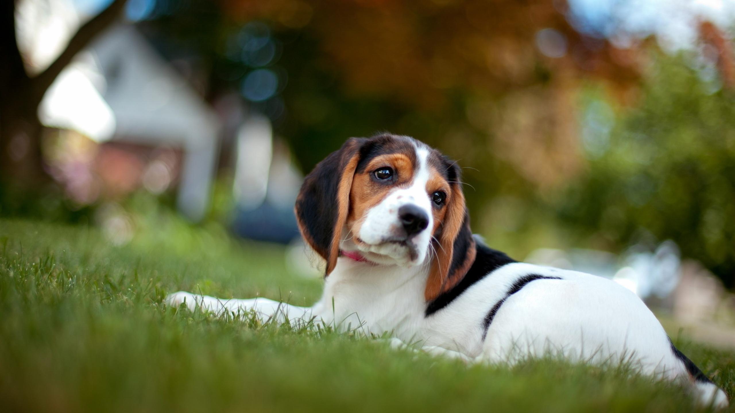 beagle wallpaper 4232