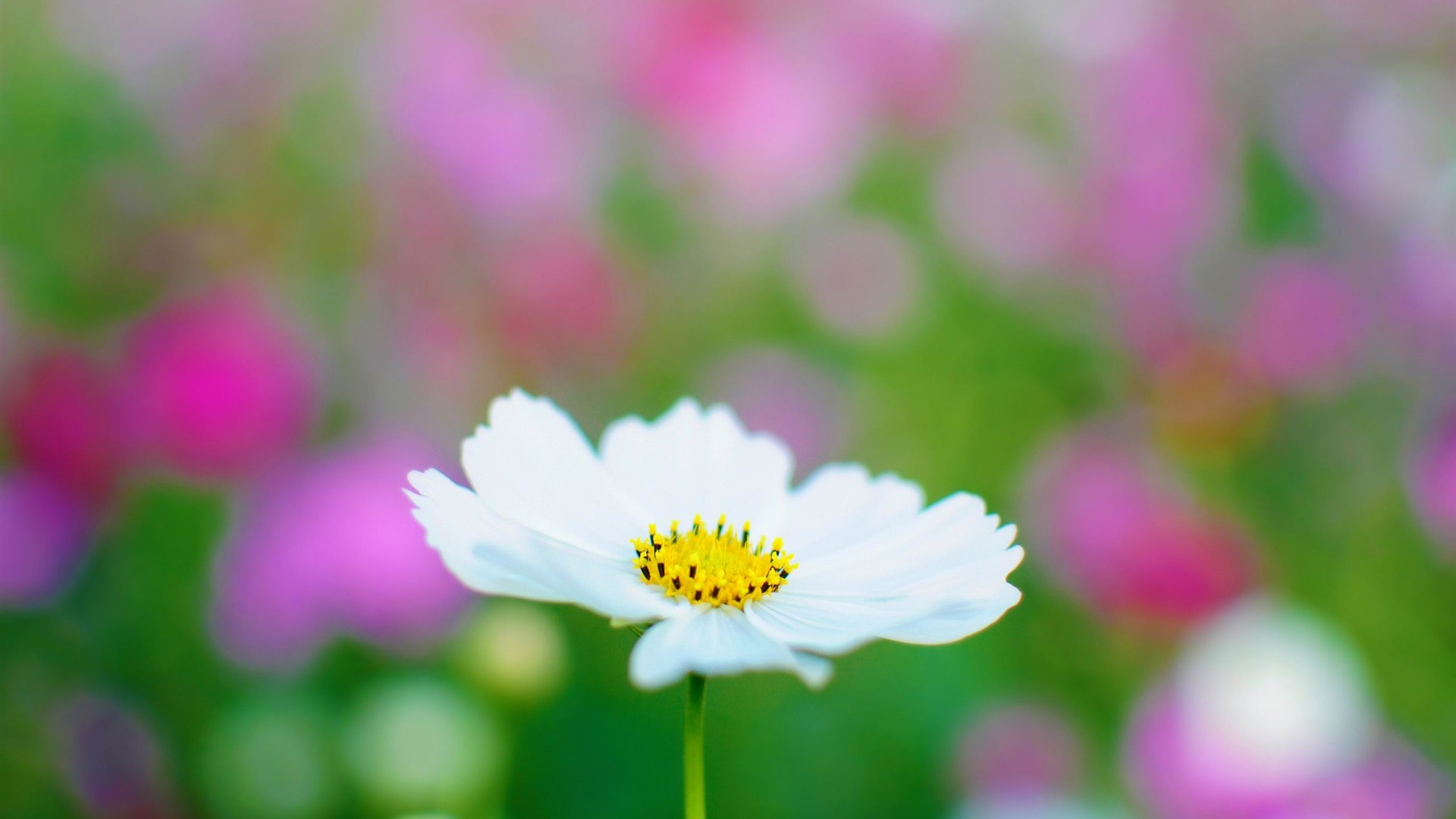 beautiful cosmos flower 29250
