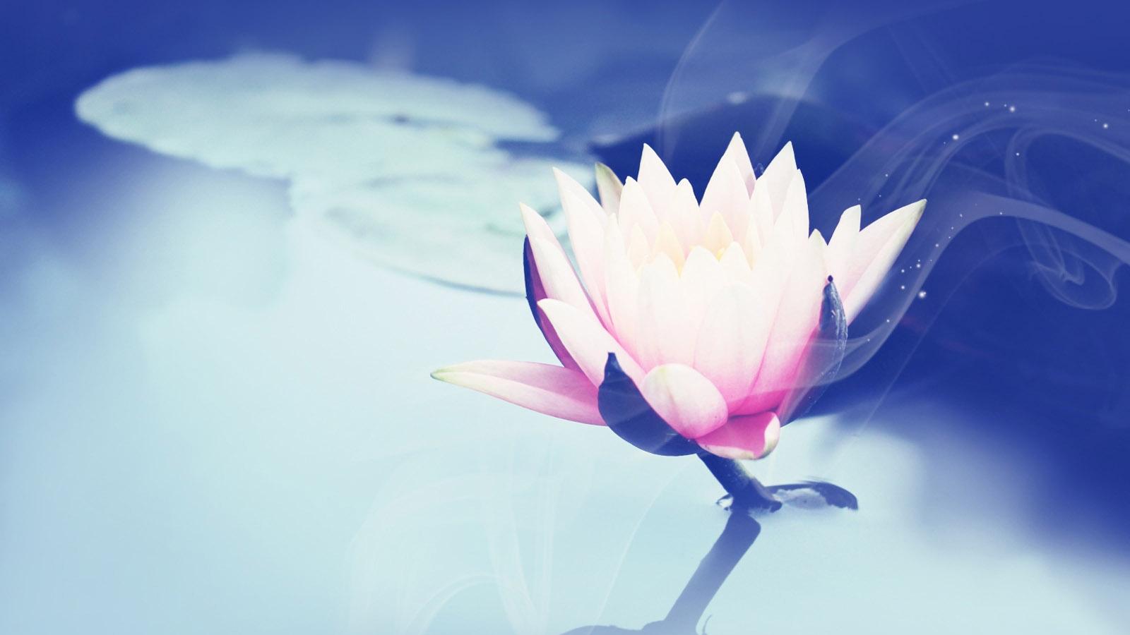 beautiful lotus wallpaper 22588