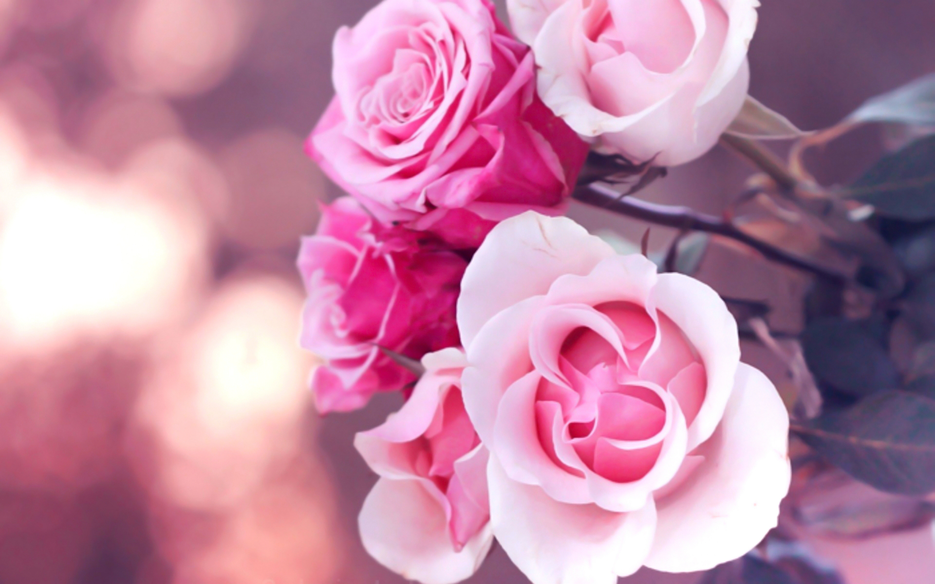 beautiful pink roses wallpaper 23382