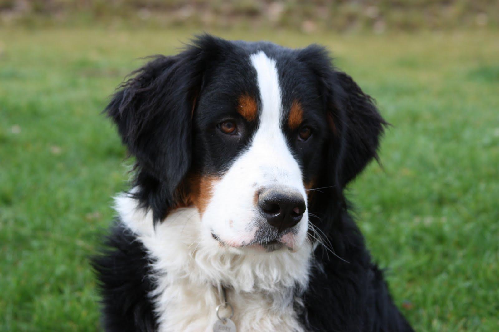 bernese mountain dog 16463