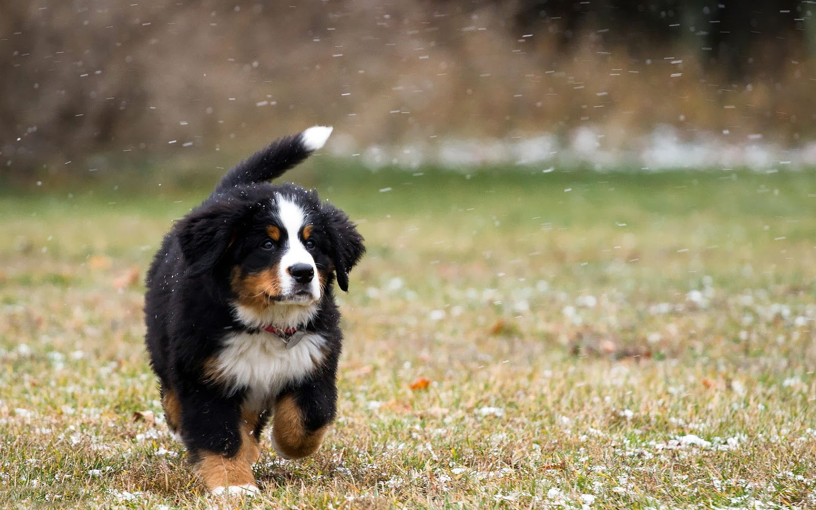 bernese mountain dog wallpaper 16461