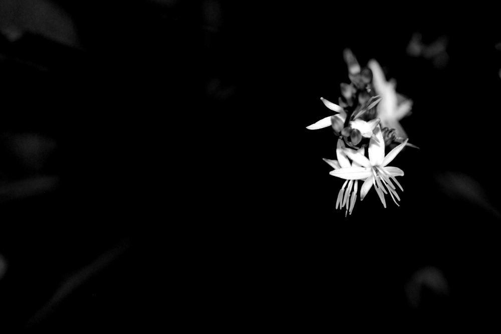 black and white flowers 7729