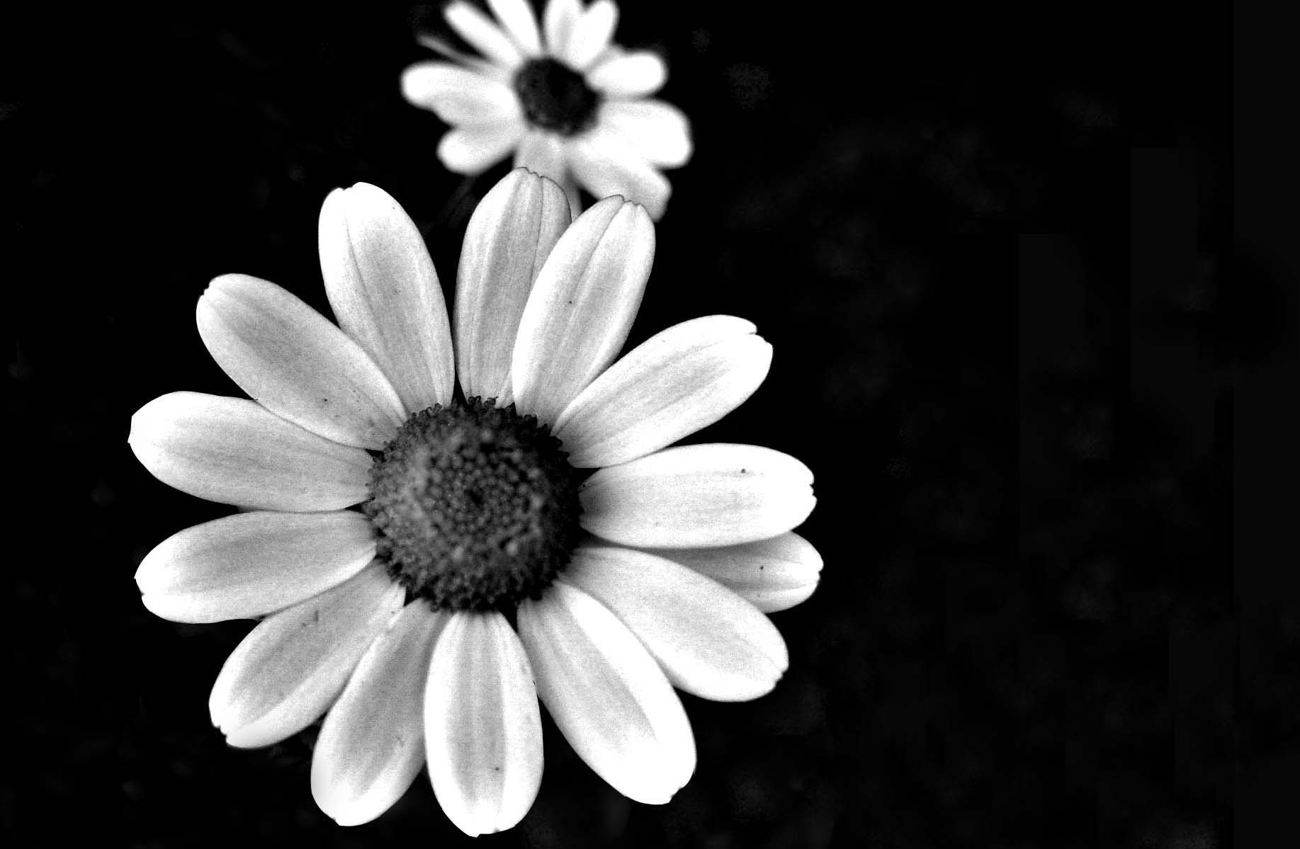 black and white flowers 7733