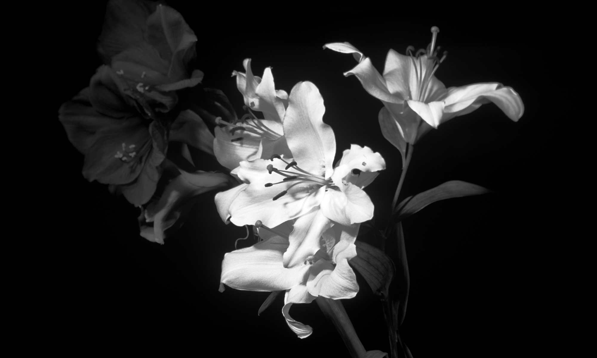 black and white flowers 7736