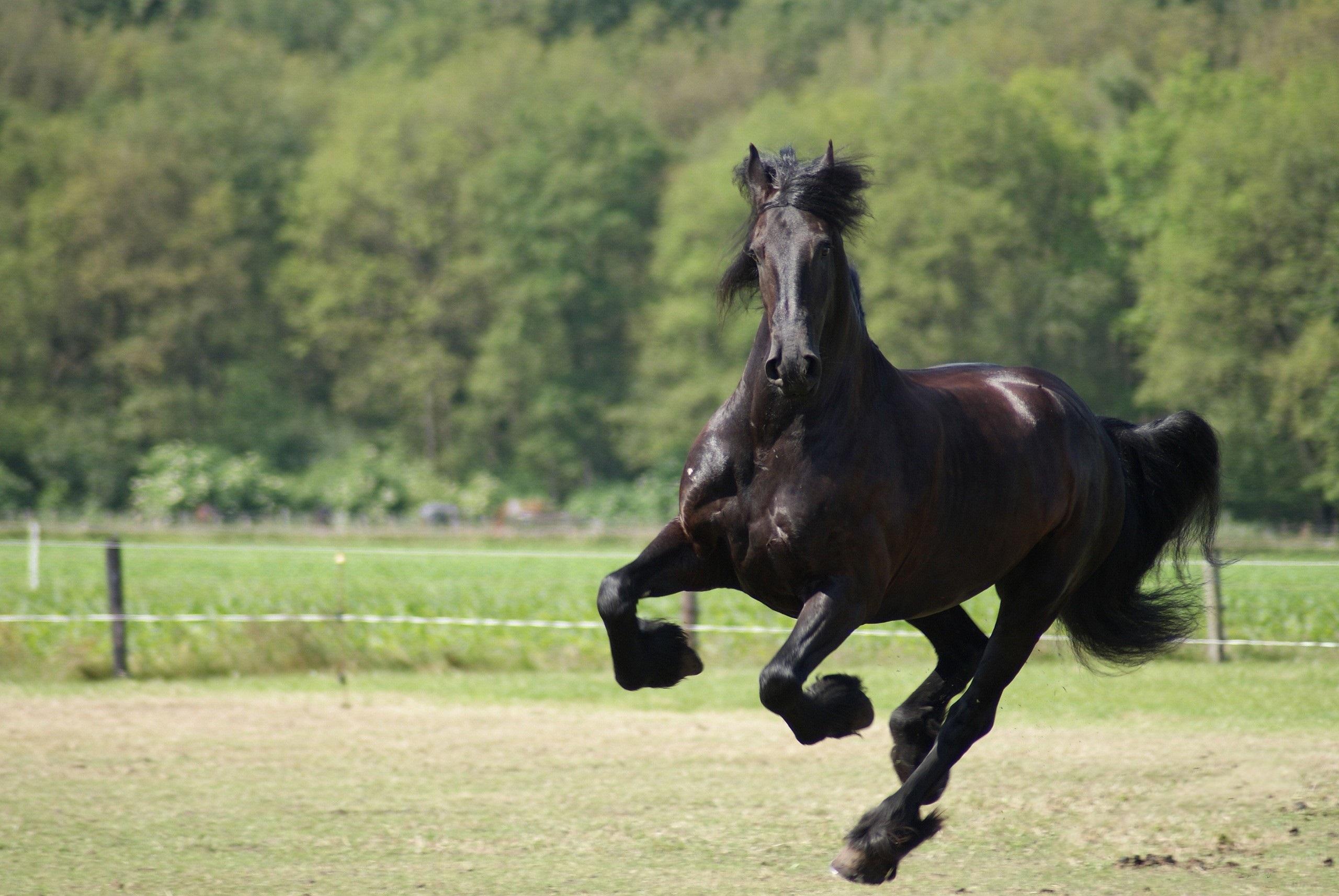Black Horse 32519 2560x1713 Px HDWallSource