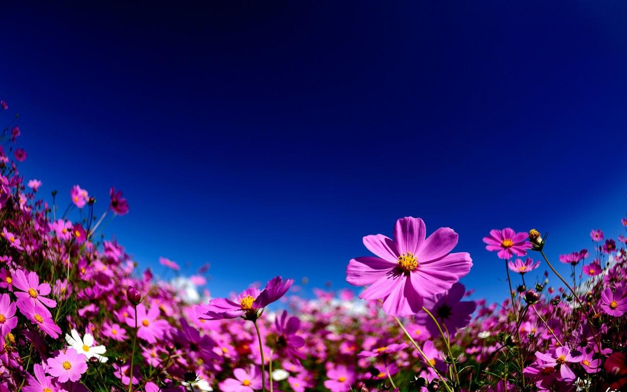 cosmos flowers 29247