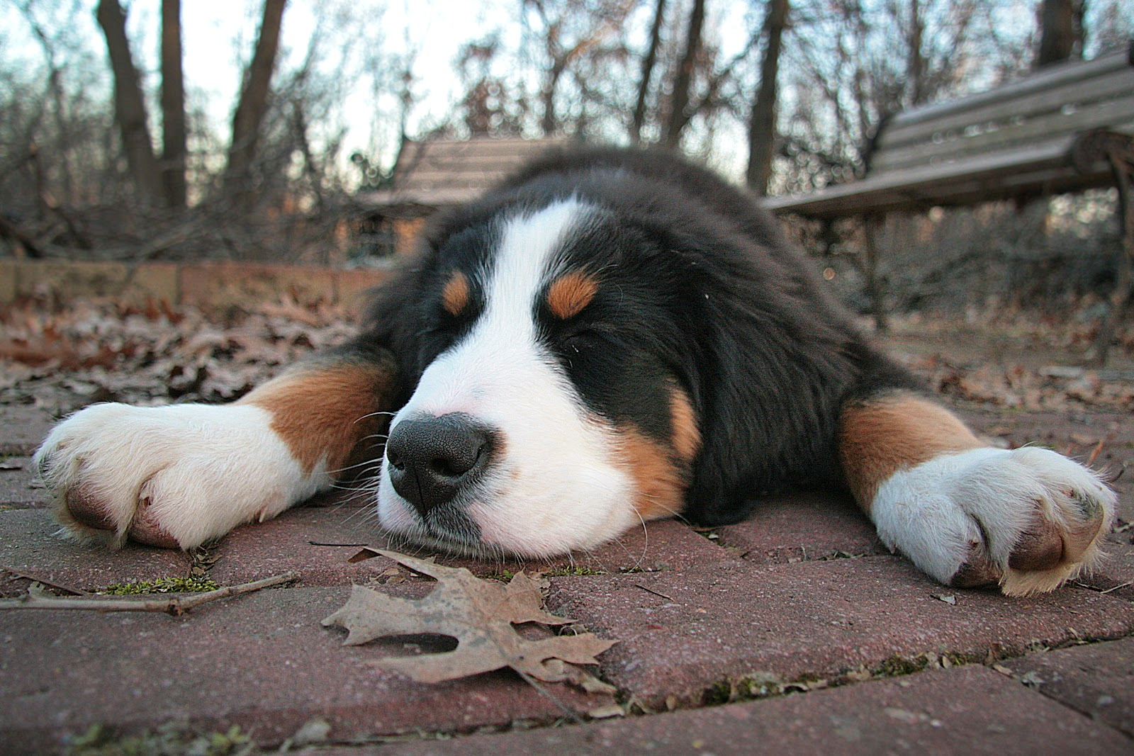 cute bernese mountain dog 16462