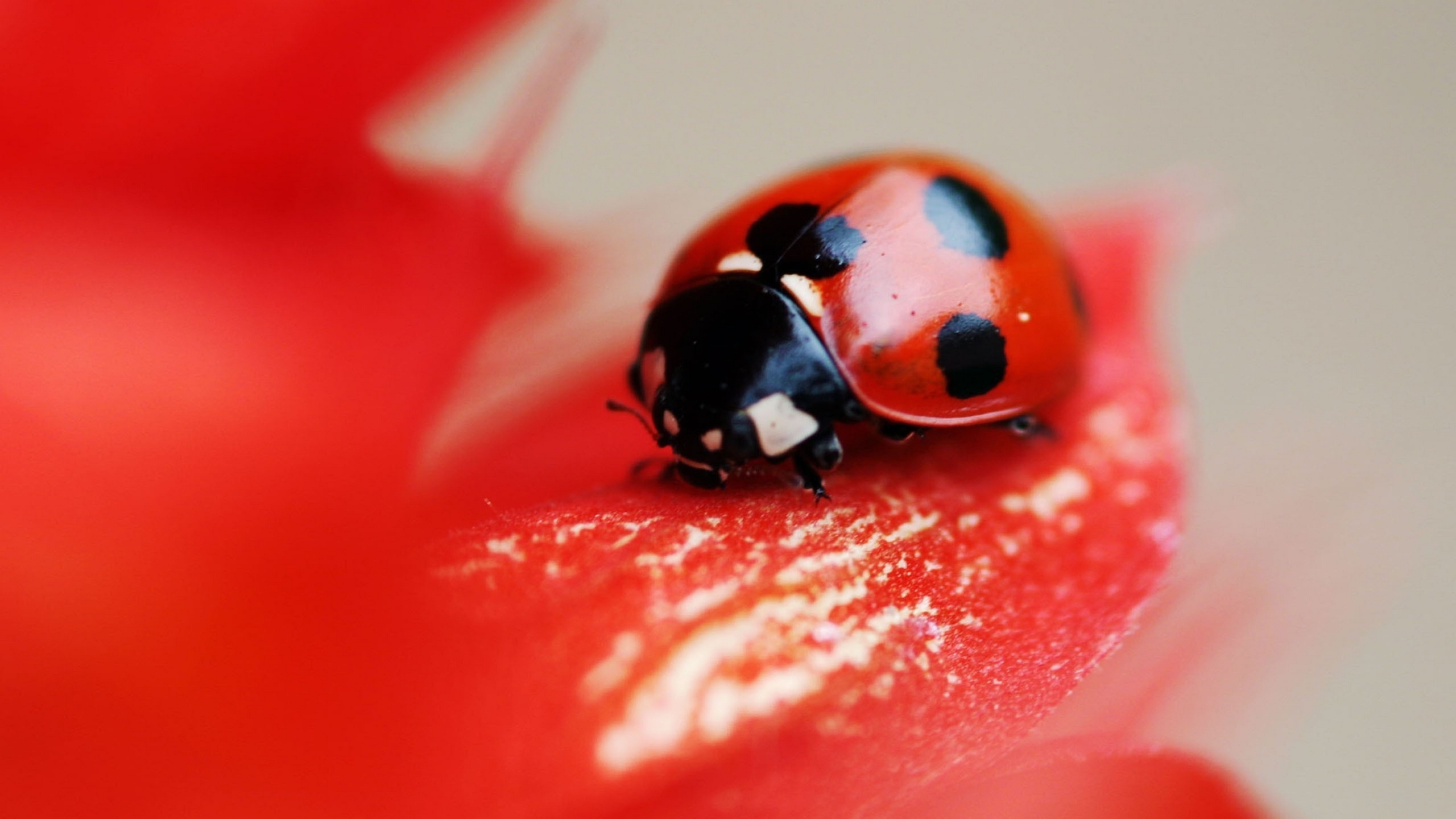 fantastic ladybug wallpaper 43701
