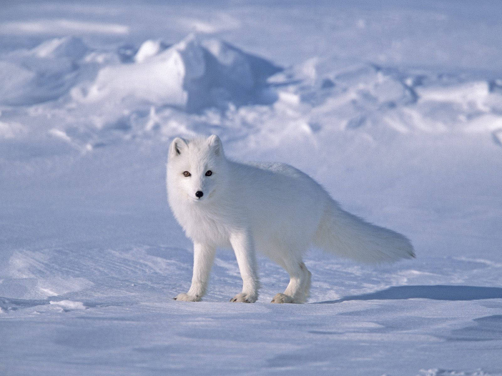 free arctic fox wallpaper 20051 1600x1200 px hdwallsource com
