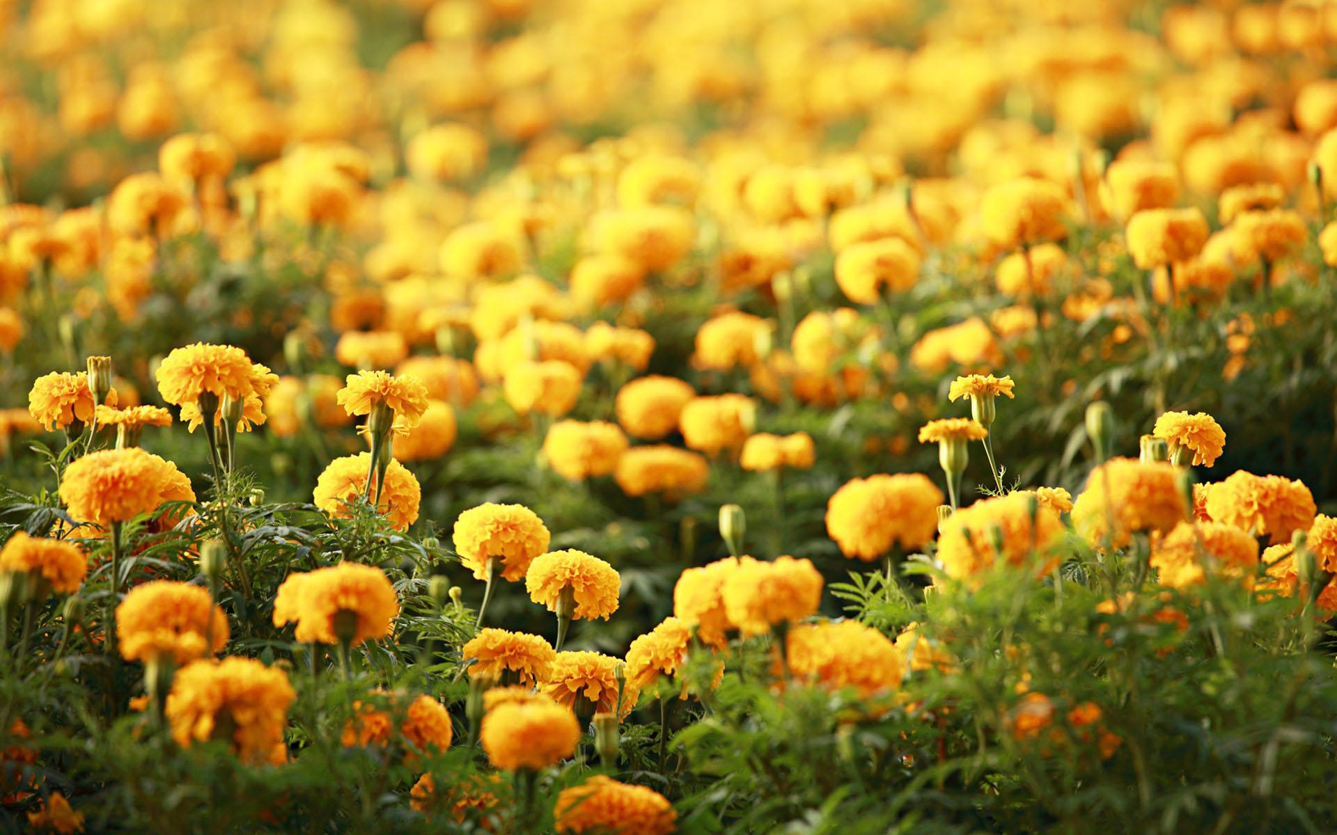 free flower wallpaper 16731