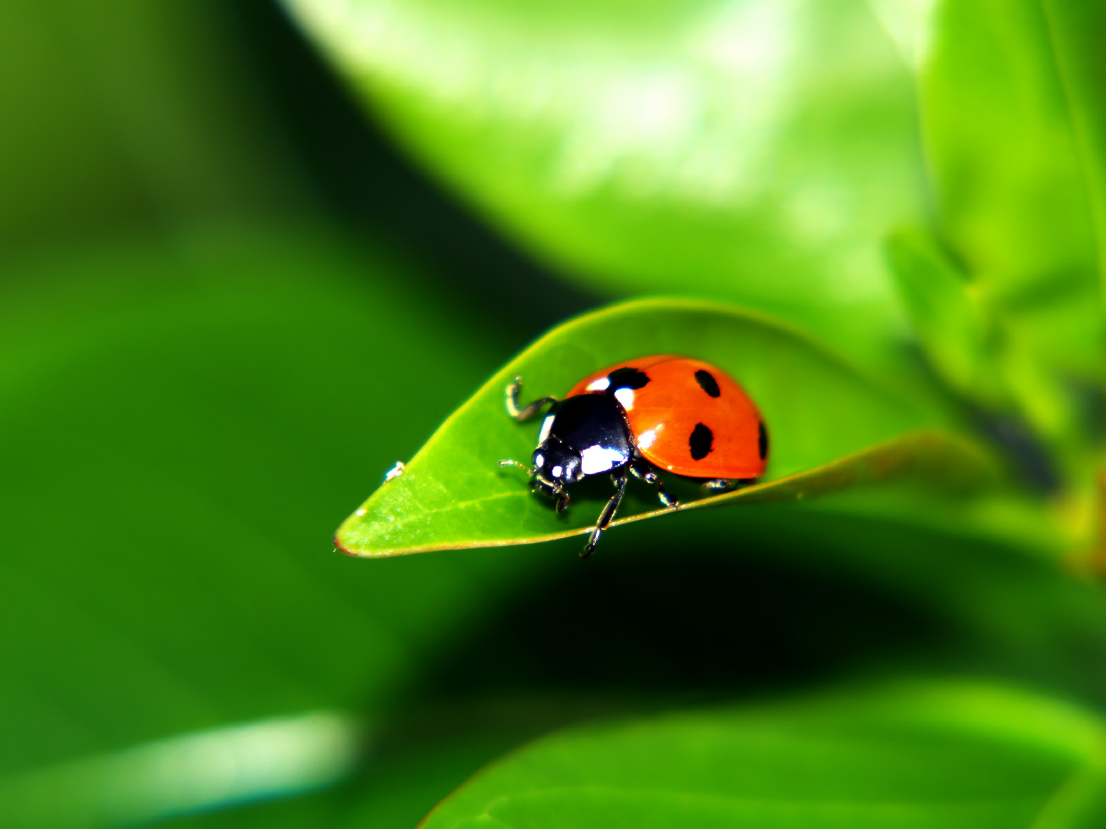 free ladybug wallpaper 43698