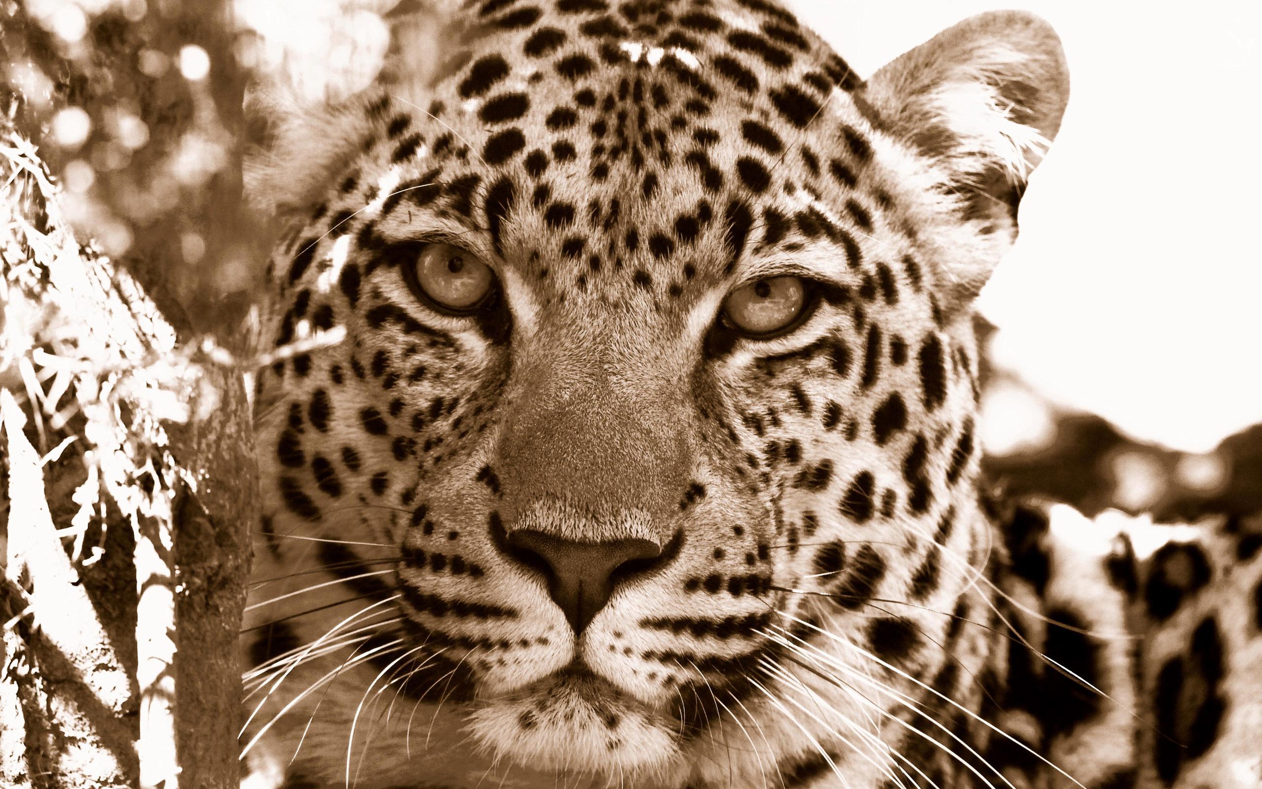 free leopard background 18413