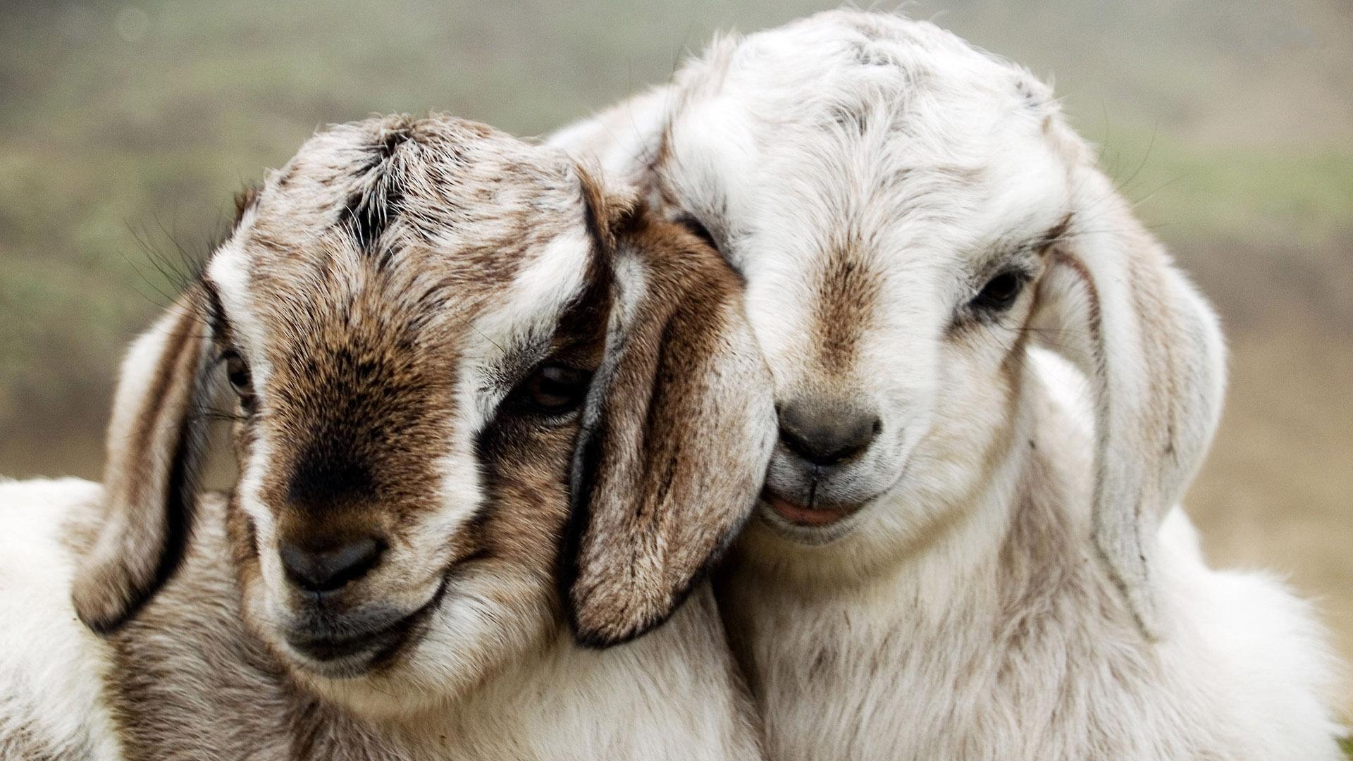 cute goats wallpaper 17114
