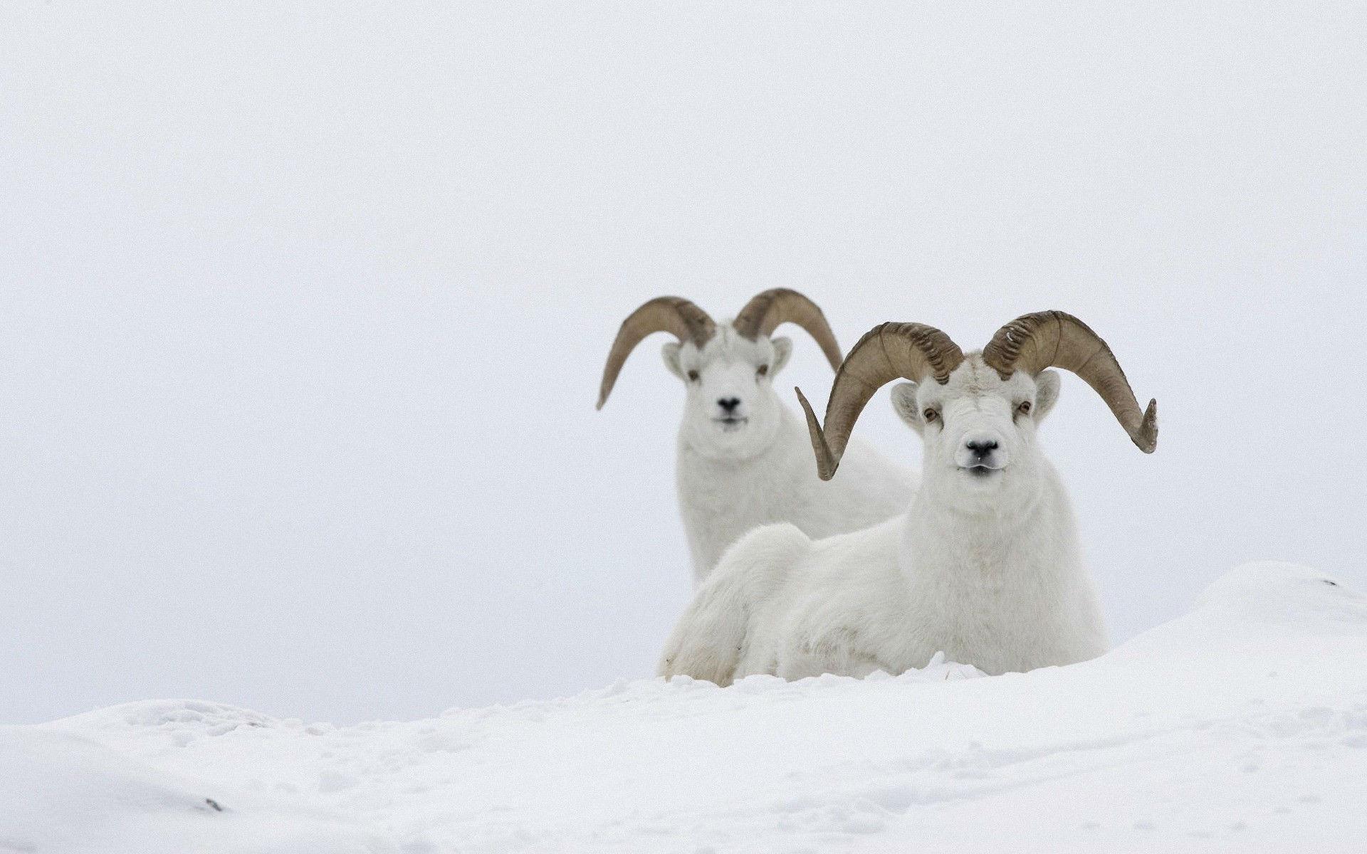 goat 17117