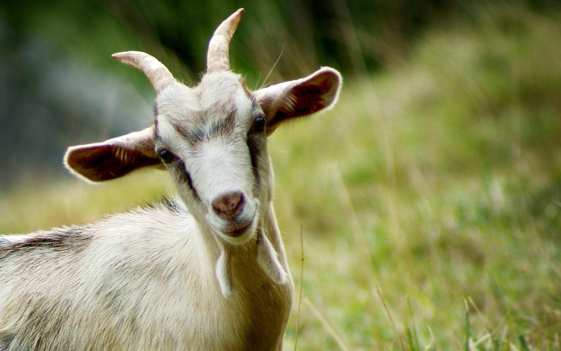 goat wallpaper 17110