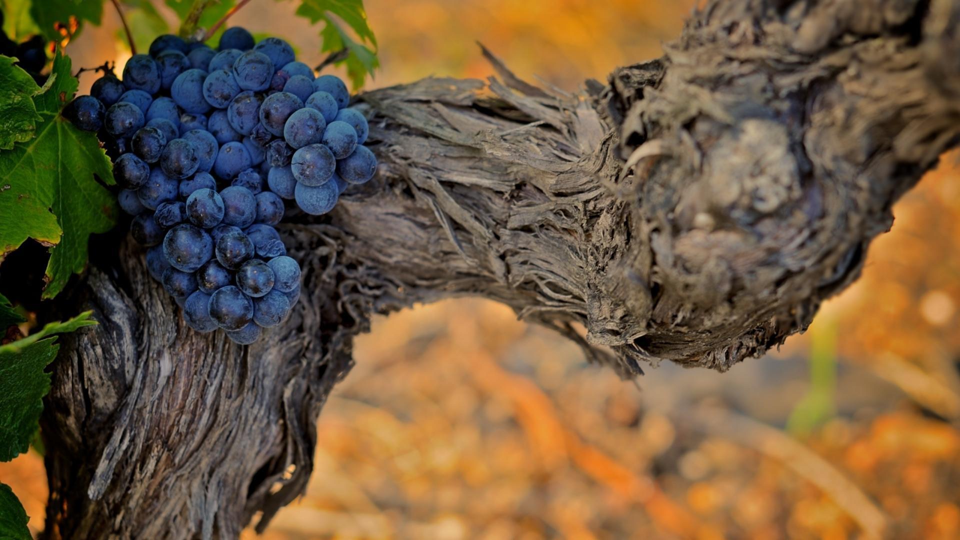 grapes tree wallpaper 42112
