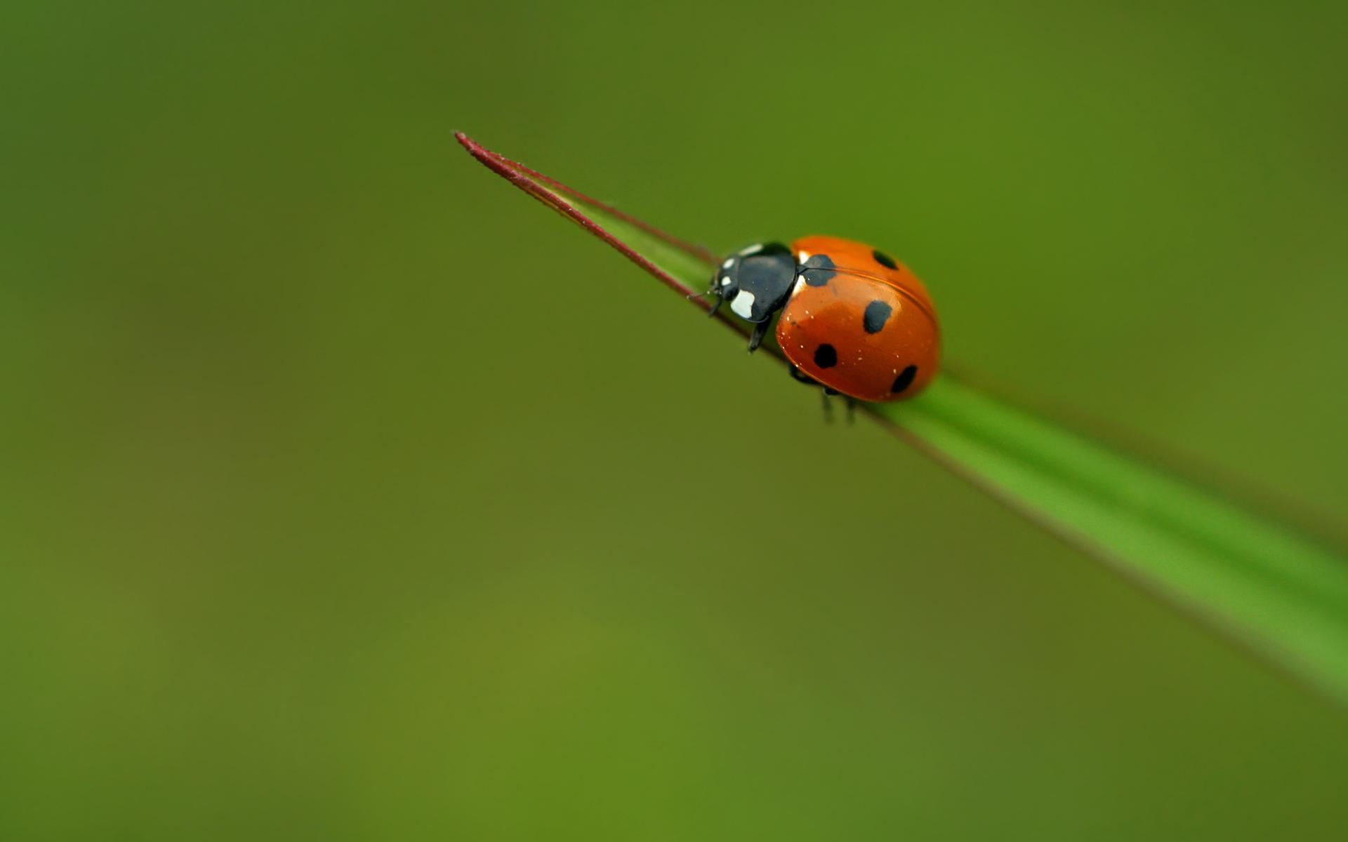 ladybug wallpaper 43699
