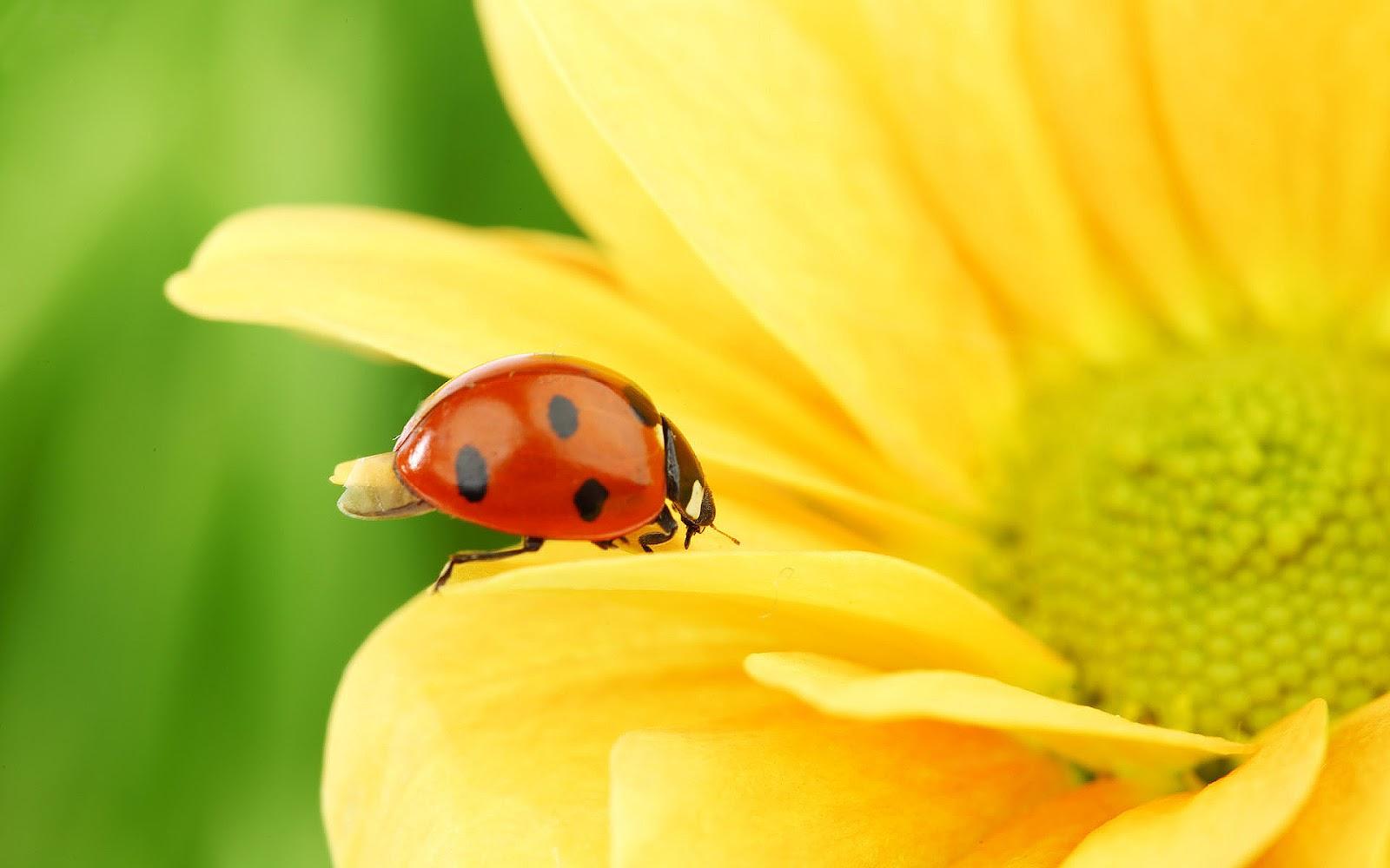 ladybugs 15644