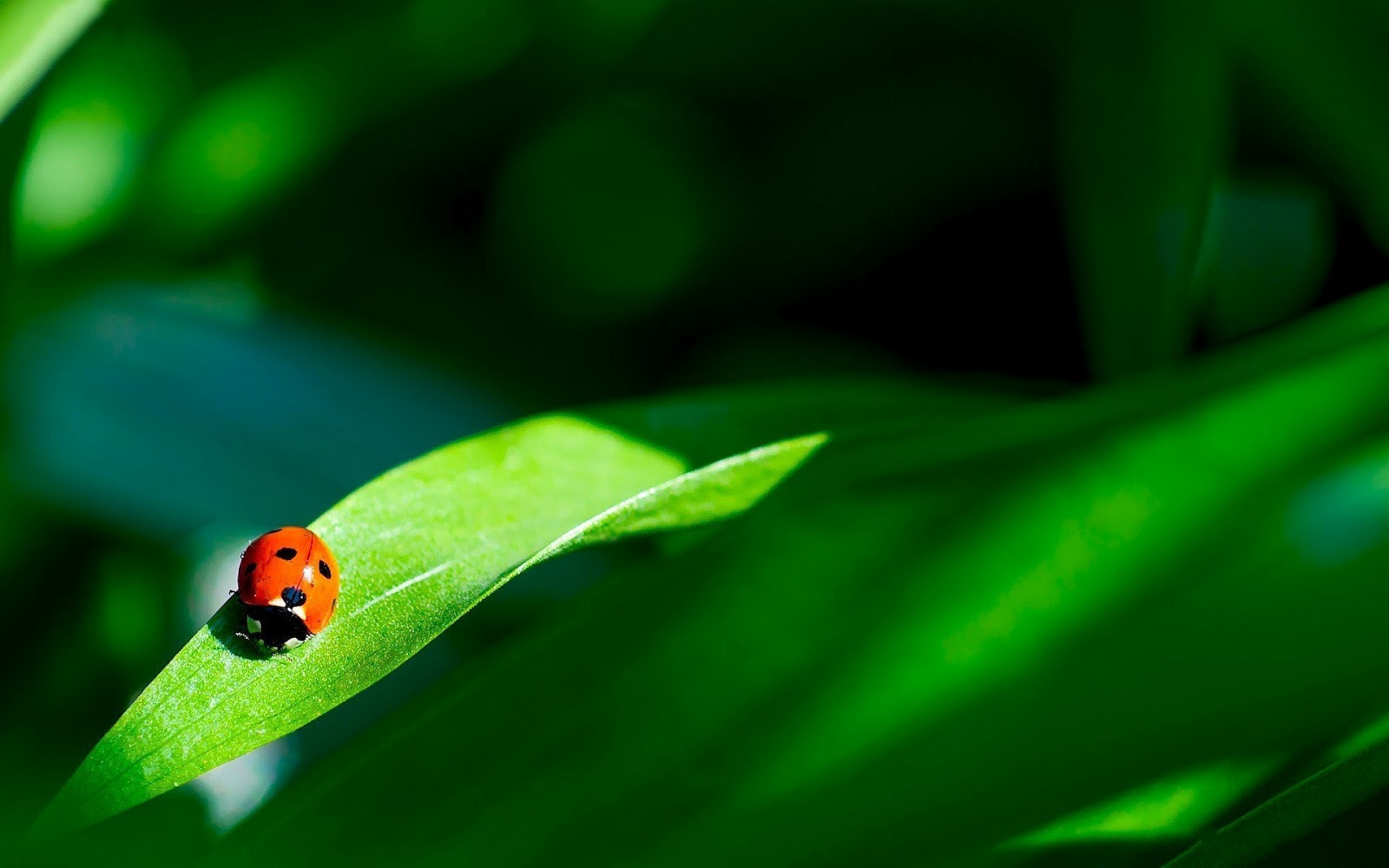 ladybugs wallpaper 15641
