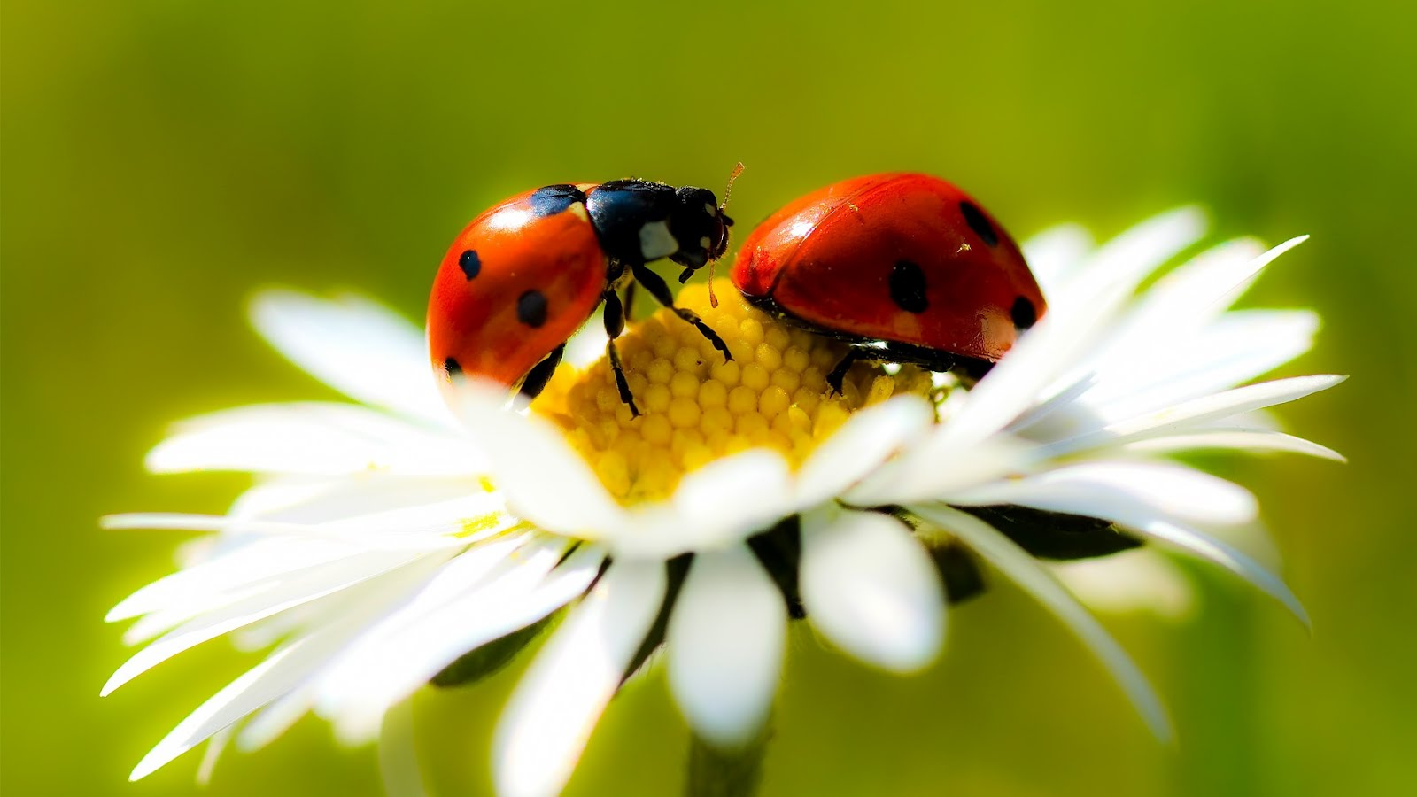 ladybugs wallpaper 15651