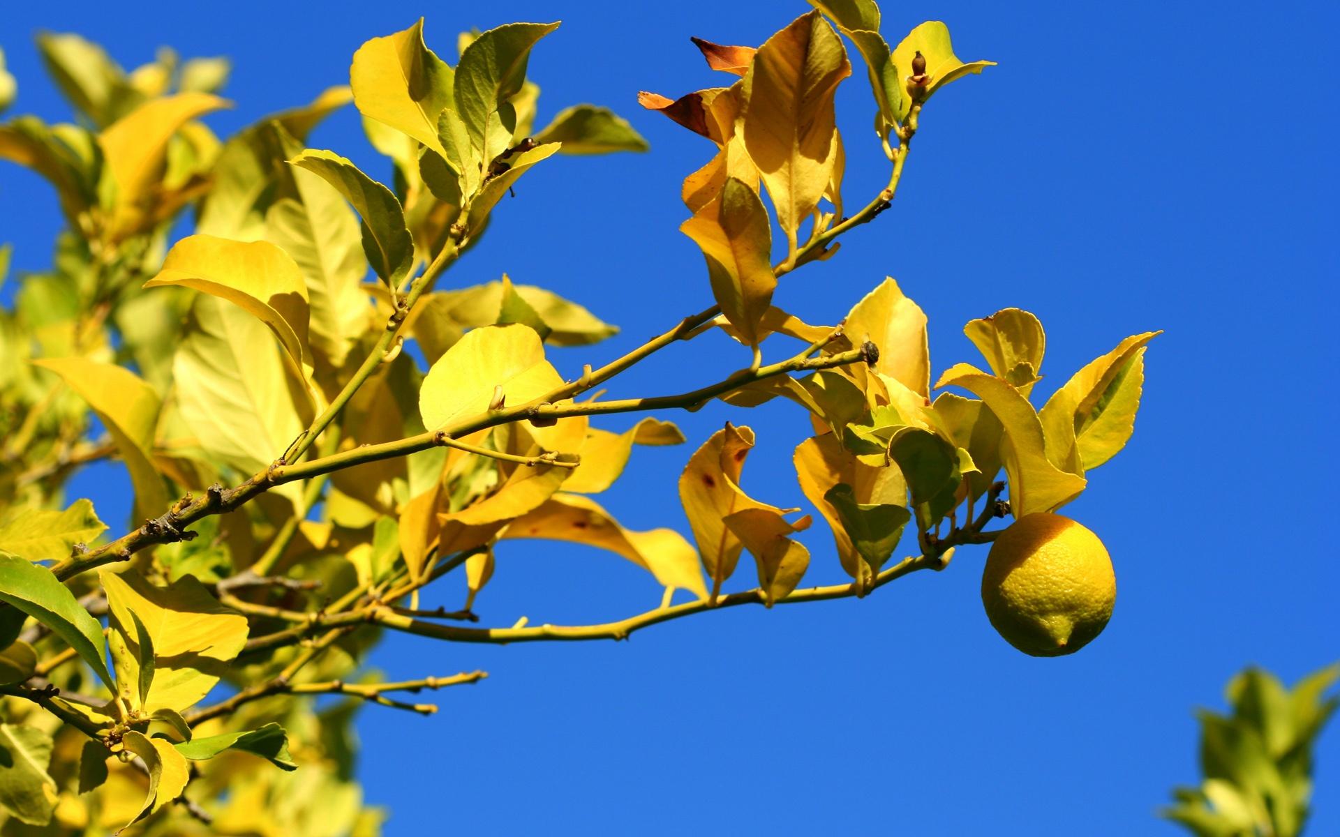 lemon tree wallpaper 42110