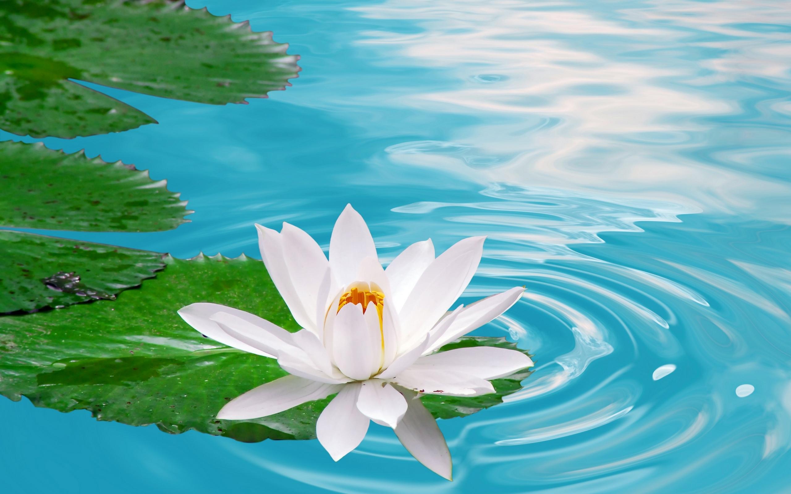 lotus 22589
