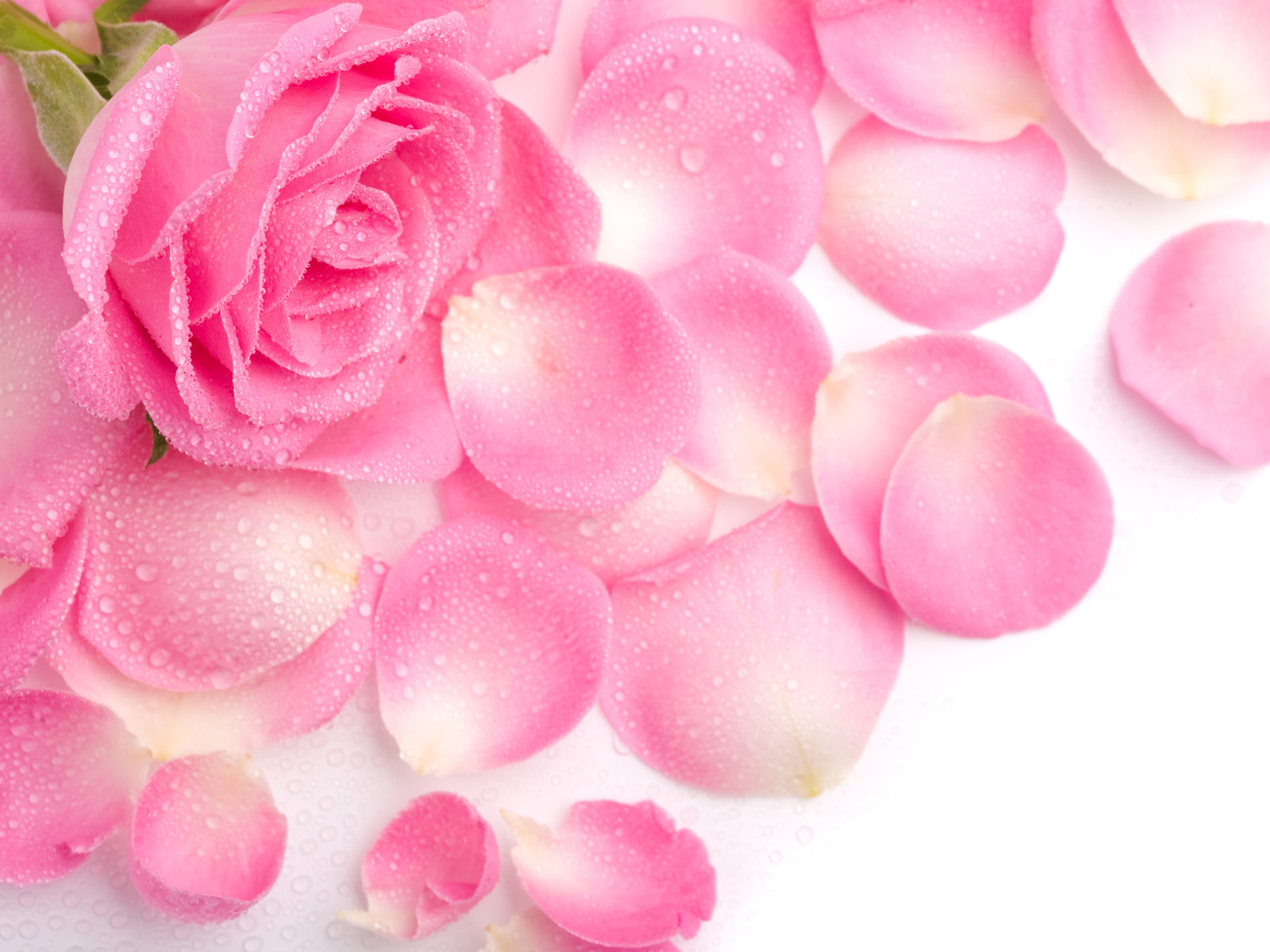 pink roses 23385