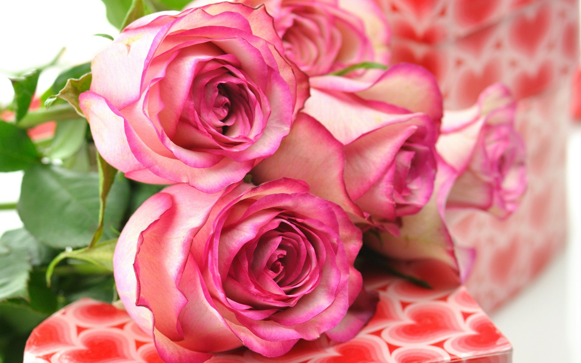 pink roses 23393