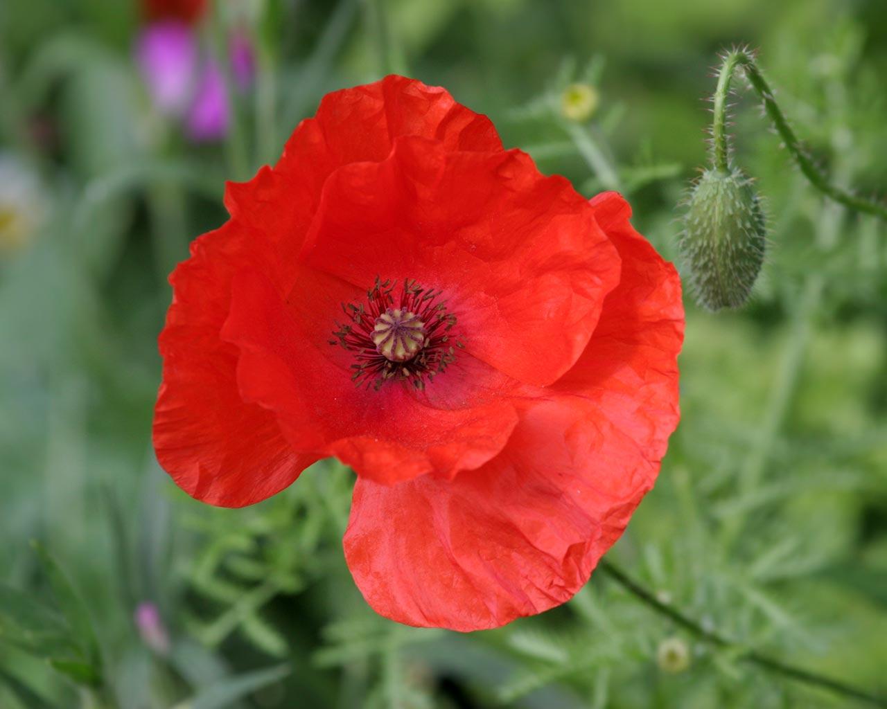 Poppy Flowers 14020 1280x1024 Px  HDWallSourcecom