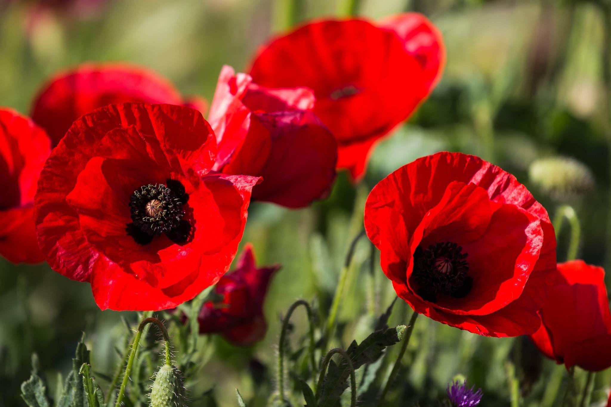 Poppy Flowers 14029 2048x1365px
