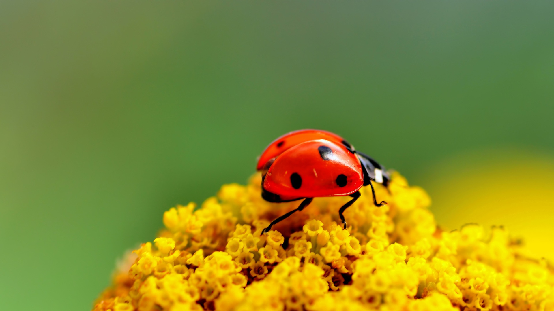 pretty ladybug wallpaper 43697