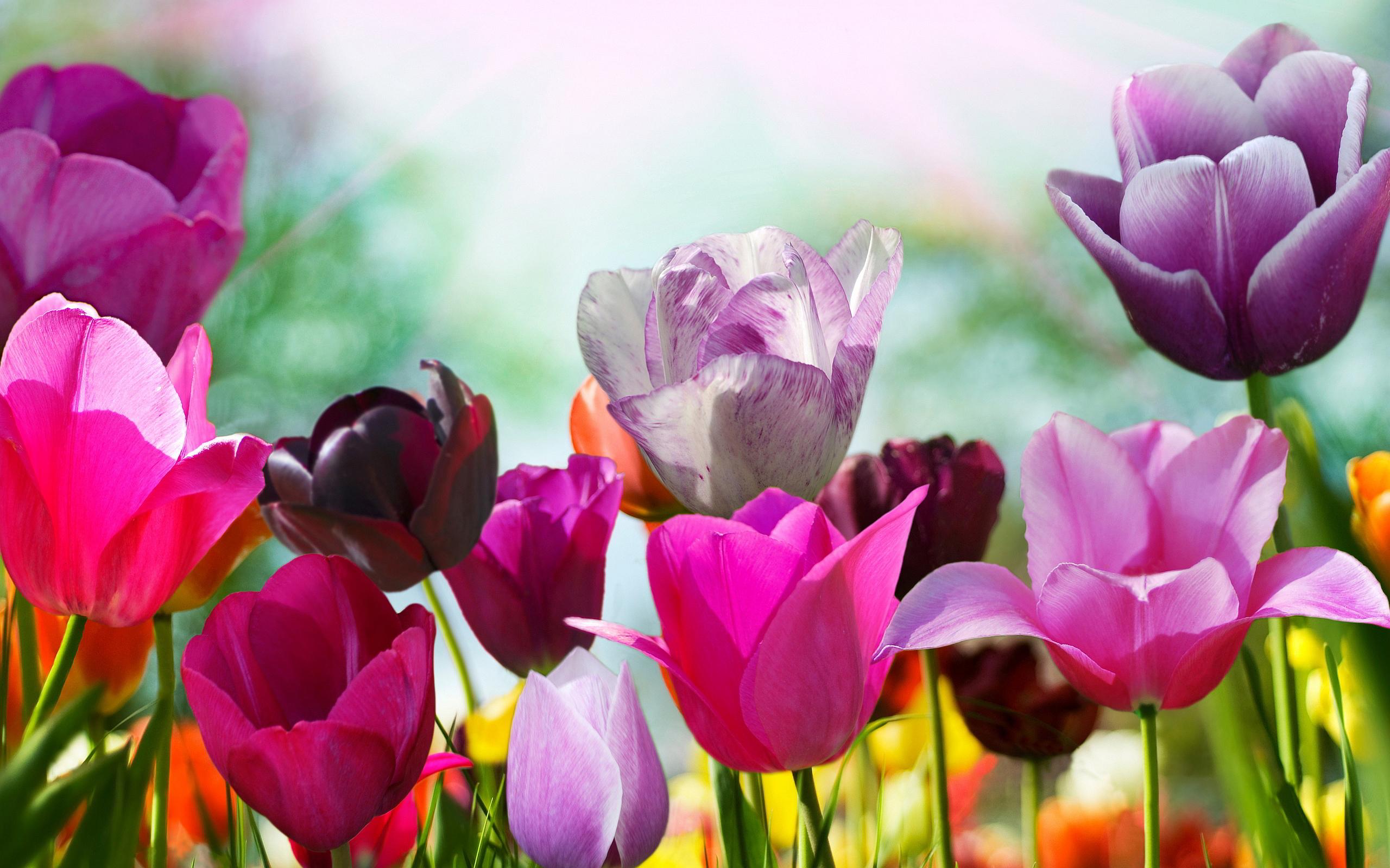 purple tulips 12717