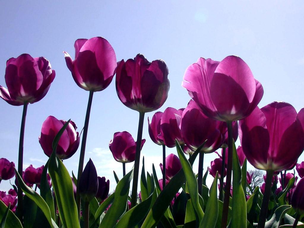 Purple Tulips 12727 1024x768 px ~ HDWallSource.com