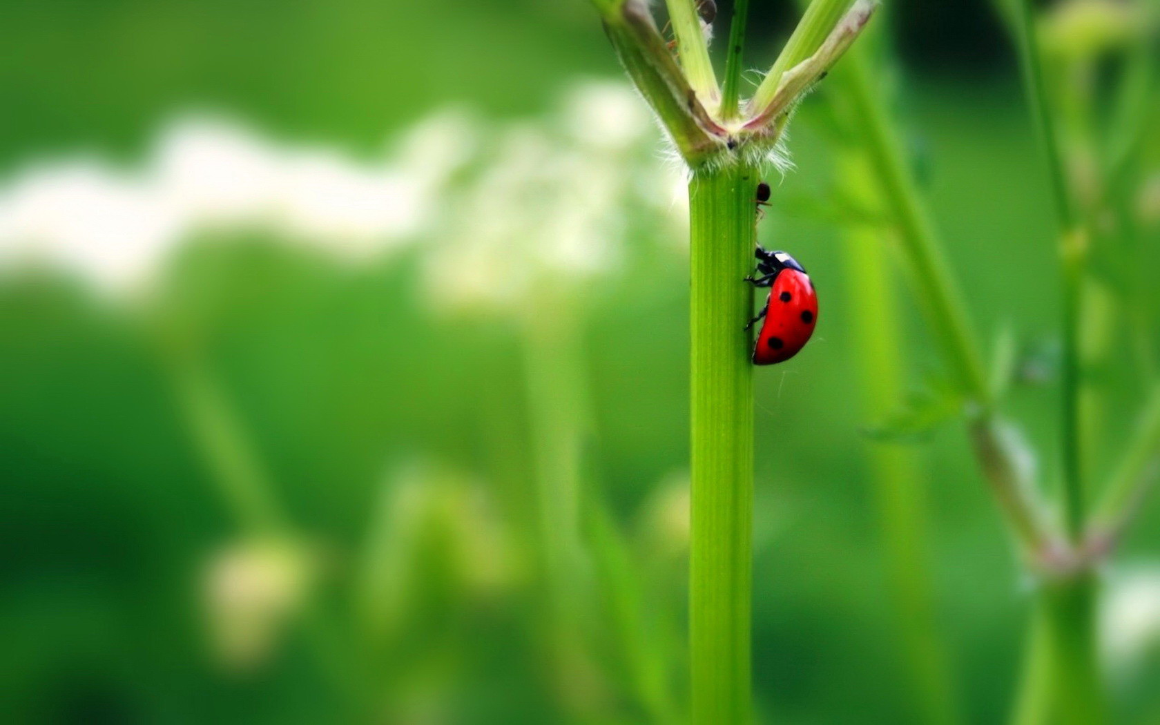 red ladybug wallpaper 43702