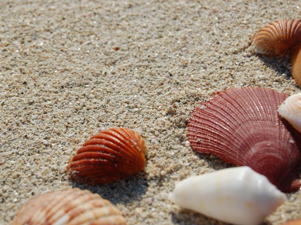 seashell wallpaper 25195