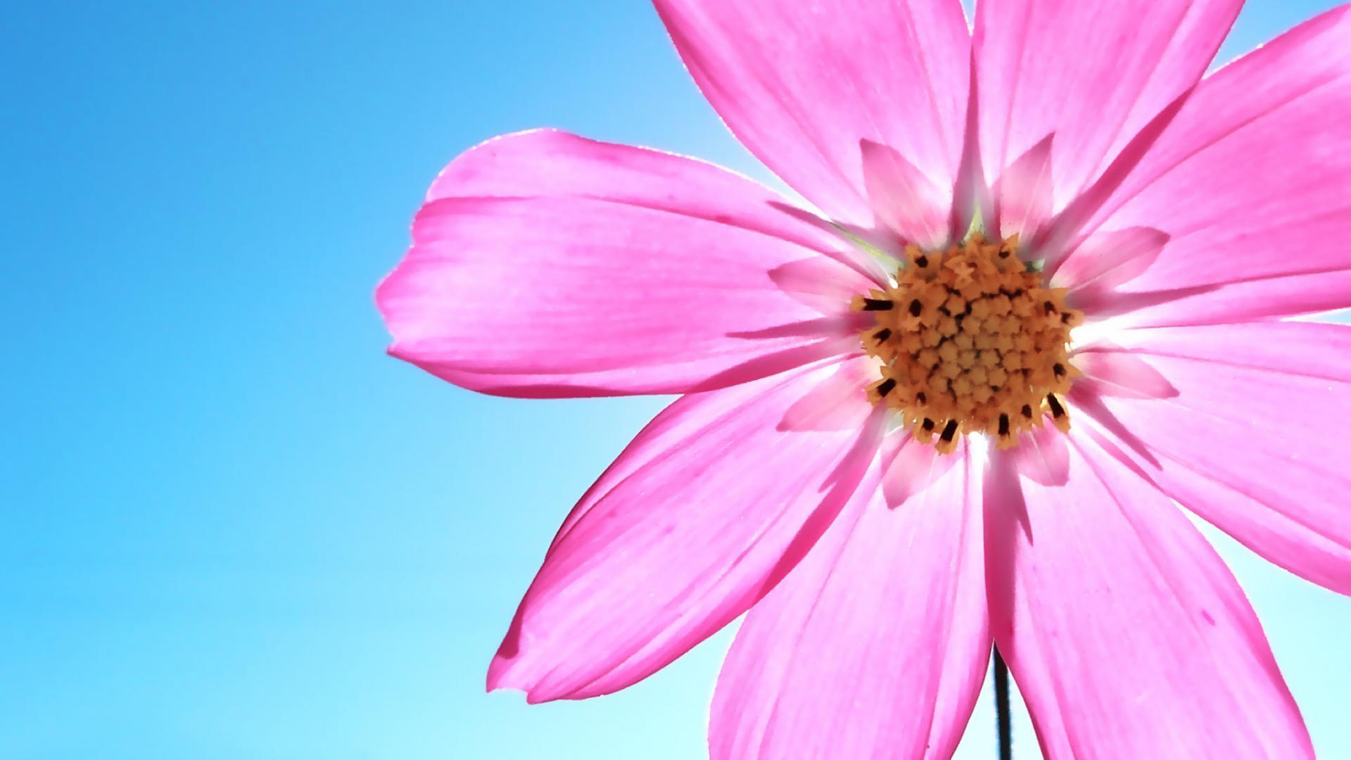 stunning cosmos flowers 29245
