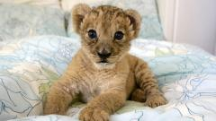Adorable Baby Lion Wallpaper 30521