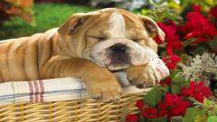 Adorable Bulldog Wallpaper 22965