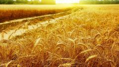 Amazing Corn Wallpaper 37702