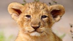 Baby Lion 30528