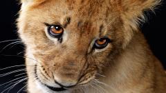 Baby Lion 30532