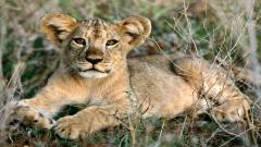 Baby Lion Pictures 30522